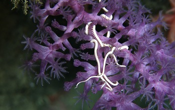 Brittle stars and deep-sea corals cover a known seamount in the western Pacific Ocean.