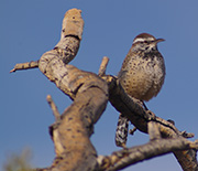 The cactus wren is a desert species that has remained relatively stable over the study period.