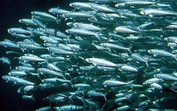 A school of Pacific sardines