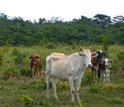 Cattle on pasture and a forest in the background in Chiapas, Mexico.