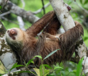 Two-toed sloths are heavily-built animals with shaggy fur and slow, deliberate movements.