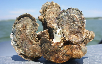 Oyster in Chesapeake Bay. Climate change/management/ecology of the bay is a Coastal SEES topic.