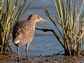 California Clapper Rail near invasive Spartina along San Francisco Bay.