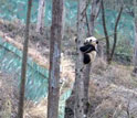 a panda climbing a tree in wolong china