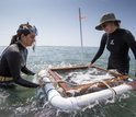 Scientists take samples of a restored seagrass meadow at the NSF Virginia Coast Reserve LTER site.