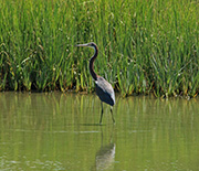 A tricolored heron stalks fish