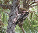 Hairy woodpecker in a tree