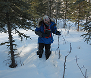 A researcher examines white spruce trees killed by hare-browsing in northern Alaska.