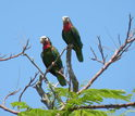 Bahamas parrots sitting in a tree