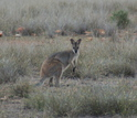A kangaroo in grasslands in Queensland, Australia