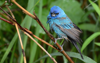 Indigo buntings often migrate by night, using the stars to navigate.