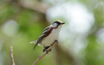 Chestnut-sided warblers migrate mostly by night. Peak fall migration is in September.