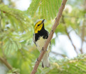 Black-throated green warblers migrate south to Mexico, Central America, West Indies and Florida.