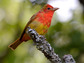 Biologists and atmospheric scientists track migrating birds like this summer tanager.