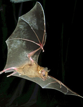 Jamaican fruit bat in flight: this bat species can smell the volatile compounds in fruit.