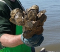 A cluster of eastern oysters <em>(Crassostrea virginica)</em> from Delaware Bay.