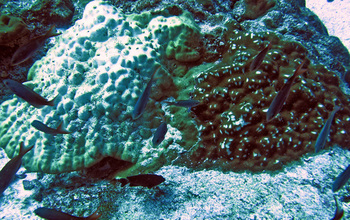 Two Porites corals of two different species, growing side-by-side
