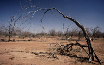 Ghostly sentinels: trees in Senegal that have died in a drought.