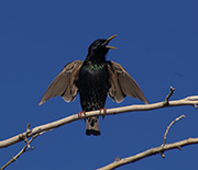 The European starling is an introduced species that, while still common in Phoenix, is declining.