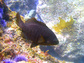A black surfperch swimming in the vicinity of Santa Cruz Island.