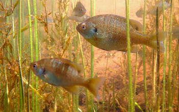 Bluegill in Wisconsin's Sparkling Lake show astonishing variability in numbers from year to year.