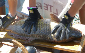 Researchers census fish populations in lakes in Wisconsin. Seen here, a common carp.