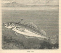 1876 illustration fo atlantic cod