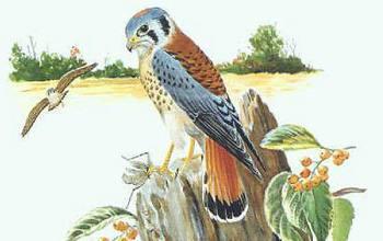 drawing showing an American kestrel  bird