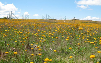 Spring wildflowers with Nutrient Network fences in the mountains of southeastern Australia.