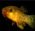 The Atlantic killifish, subject of the researchers' study.