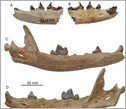 fossilized jawbones of the Himalayan fox,