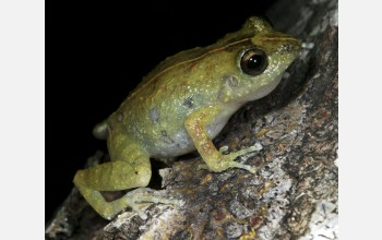 The ancestors of this frog in Haiti arrived via a voyage across the Caribbean.