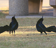 Birds like the great-tailed grackle do well in landscaping with water, lawns and trees.