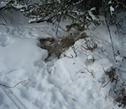 Snow-covered ground dug into by foraging hares.