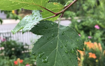A leaf from a Washington hawthorn tree (Crataegus phaenopyrum) in a suburban yard.