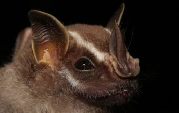 The tent-making bat Uroderma bilobatum & By dark of night how do bats smell their way to fruit? | NSF ...