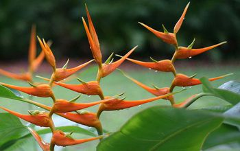 The beautiful Heliconia latispatha is adapted to tropical rainforests.
