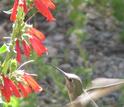 Beardtongue plant and a humingbird