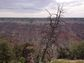 Ponderosa pine on Grand Canyon rim falling over