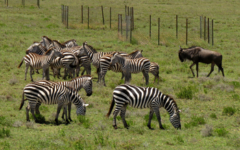 Zebras and wildebeest graze near experimental enclosures in Tanzania, East Africa.