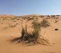 With unique canopy structures, dune grasses in the Namib collect fog water efficiently.