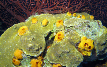 A yellow burrowing sponge on a plate-forming stony coral.