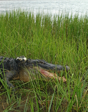 Alligator in a salt marsh creek