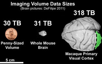 mouse brain next to a penny  and a macaque brain comparing volume data sizes