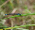 Blue-tailed damselfly in Sweden, where a long-term precipitation study has been conducted.