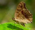 The lemon pansy butterfly
