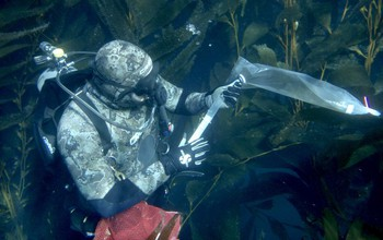 A diver collects specimens from giant kelp.