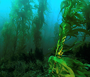 A forest of giant kelp off the coast of Southern California.