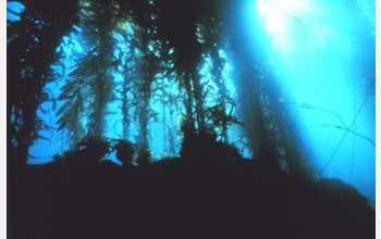 California kelp forests