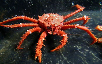 A king crab in Antarctic waters